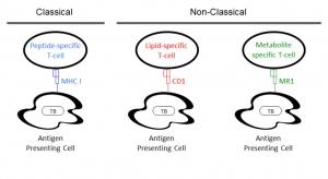 Classical and non-classical T-cell response graphic